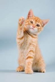 Ginger kitten waving