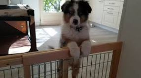 chien barriere