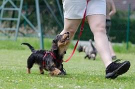obéissance chien